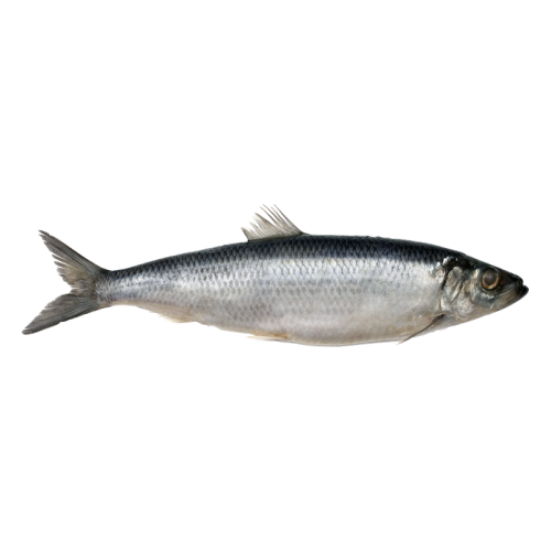 Atlantic Herring